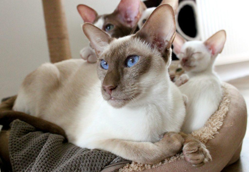 猫 性格 シャム シャムトラ猫ってどんな猫? 柄の特徴と性格をチェック!